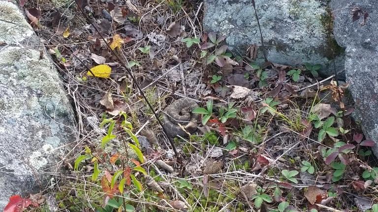 The Rattlesnake!